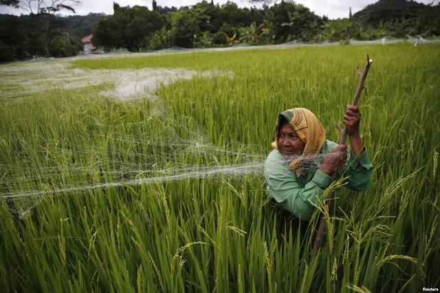 Nông dân dùng lưới đánh cá cũ để bảo vệ đồng lúa khỏi bị chim phá hoại ở Cilacap, Java, Indonesia.