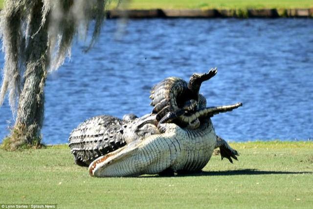 Hai con cá sấu chiến đấu với nhau gần hồ nước ở lỗ số 4. (Nguồn: Splash News)