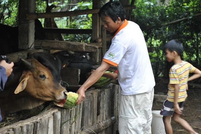 Nhiều hộ không bán được đành ngậm ngùi mang đặc sản vùng quê này cho…bò ăn. (Ảnh: Trần Mai)