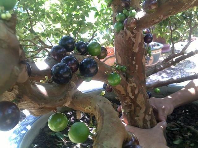 Ngoài là một cây cảnh lạ, nho thân gỗ còn được xem là một loại cây mang nghĩa tâm linh.