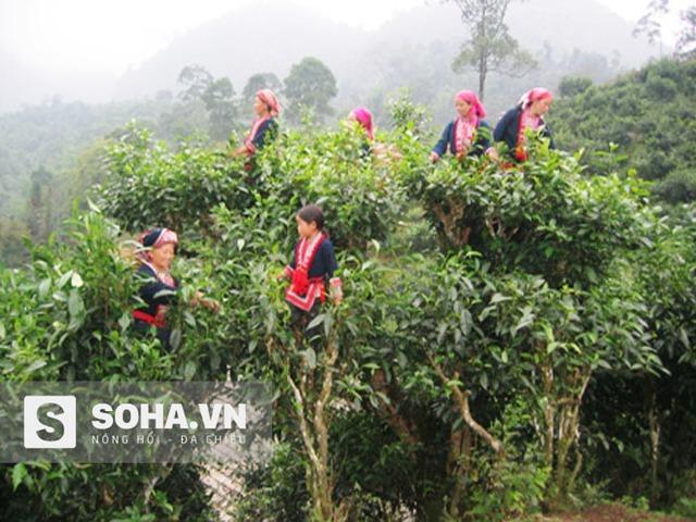 Những người phụ nữ Dao bên vườn chè Shan Tuyết đã trở thành đặc trưng cho hình ảnh sinh hoạt của người dân nơi đây