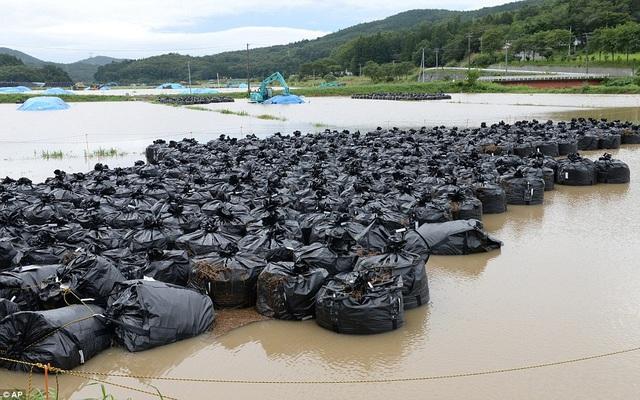 Những túi nhựa màu đen chứa đất nhiễm phóng xạ được đặt trong vùng nước ngập tại Iitate, gần nhà máy điện hạt nhân Fukushima.