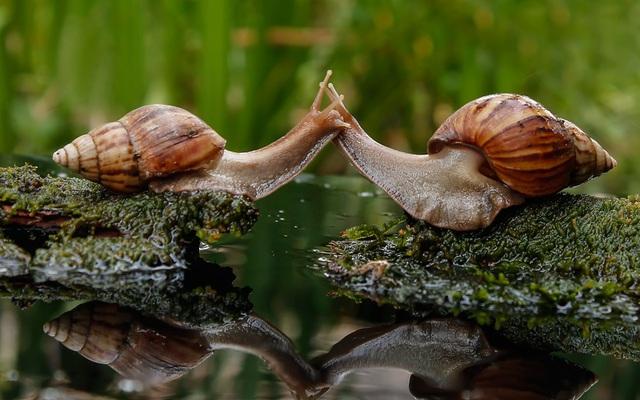 Nhiếp ảnh gia Roby Iwan ghi được cảnh tượng cặp ốc sên dương như đang hôn nhau trong vườn nhà ông ở Sambas, Indonesia.