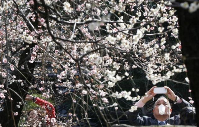 Một người đàn ông chụp ảnh hoa anh đào nở tại ngôi đền Yushima Shinto ở Tokyo, Nhật Bản.