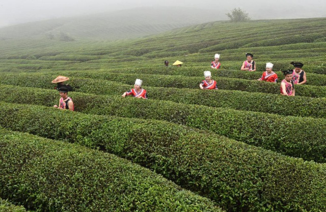 Các công nhân đang thu hoạch chè ở huyện Úng An, tỉnh Quý Châu, Trung Quốc.