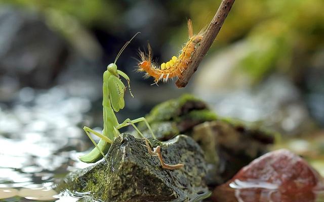 Bọ ngựa và sâu bướm chuẩn bị đánh nhau trong một khu vườn ở Malang, Indonesia.