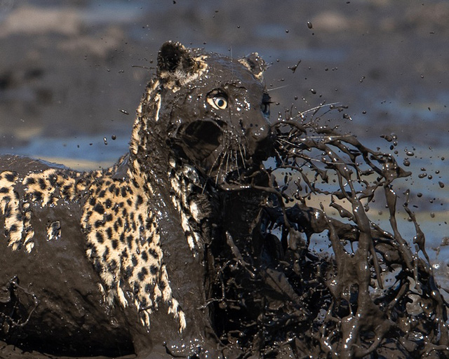 Báo gấm nhảy xuống đầm lầy để săn cá trong một công viên động vật hoang dã ở Savuti, Botswana.