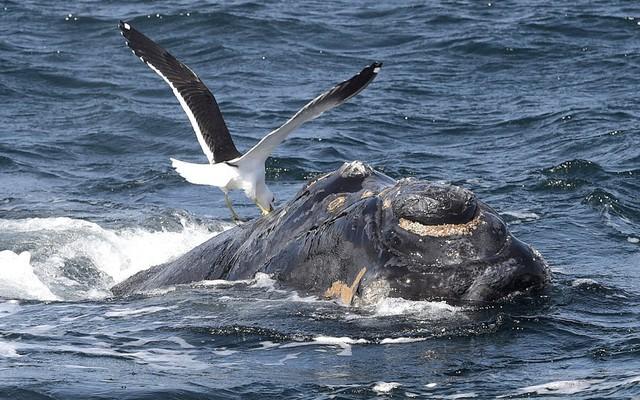 Chim mòng biển rỉa lưng một con cá voi ngoi lên mặt nước ở ngoài khơi bờ biển Patagonian, Argentina.