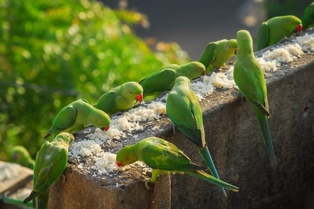 Những con chim vẹt xanh được ông Sekharthết đãi mỗi buổi sáng