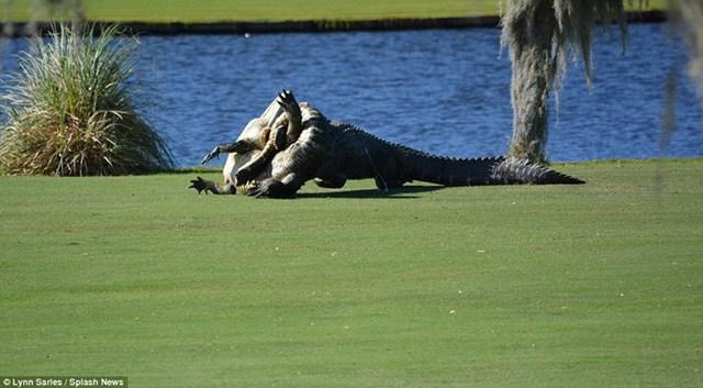 Cảnh sát đã buộc phải can thiệp để ngăn cuộc chiến giữa hai con cá sấu. (Nguồn: Splash News)
