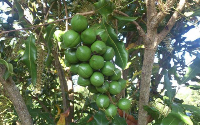 Mắc ca ra hoa và thành trái đủ lớn để thu hoạch trong vòng 6 tháng.