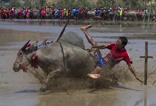 Người nông dân bị ngã trong khi điều khiển trâu tham gia cuộc đua trâu truyền thống trên đảo Sumbawa ở Nusa Tenggara, Indonesia.