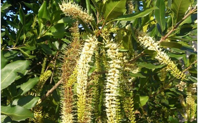 Ong bướm tỏ ra rất thích hoa mắc-ca. Nhiều trang trại có trồng mắc-ca đã nuôi thêm ong, vừa có loại mật ong mắc-ca, vừa giúp hoa dễ thụ phấn.
