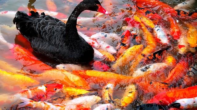 """Loài cá này đang được coi là biểu tượng cho loài cá cảnh """"nhà giàu""""."""
