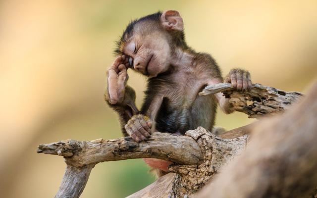 Khỉ đầu chó dùng chân gãi mắt trông rất đáng yêu trong vườn quốc gia Tarangire, Tanzania.