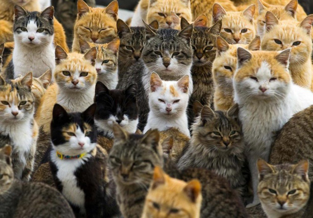 Mèo tập trung trên bến tàu tại hòn đảo Aoshima ở tỉnh Ehime, Nhật Bản. Số lượng mèo gấp 6 lần so với số cư dân sống trên hòn đảo này.