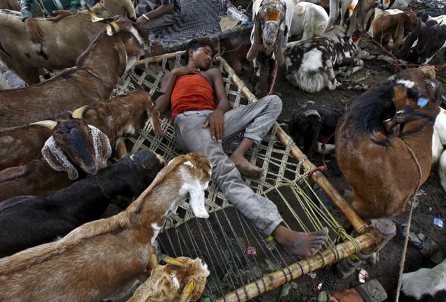 Chàng thanh niên ngủ giữa bầy dê tại một khu chợ mua bán gia súc trong dịp lễ hội Eid al-Adha ở Kolkata, Ấn Độ.