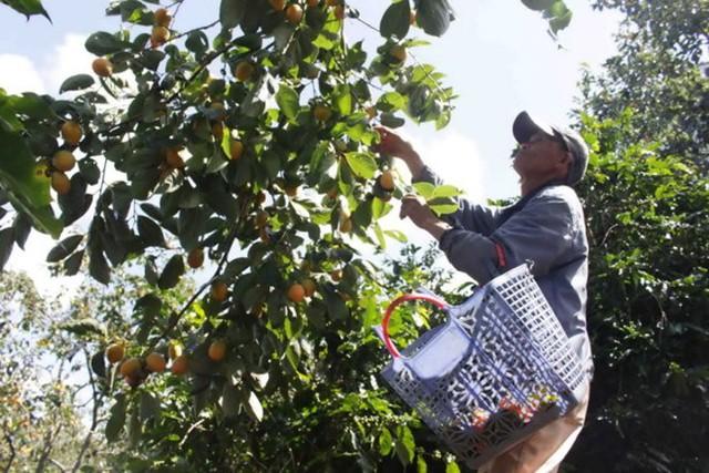 Tháng 9 - 12 là thời điểm thu hoạch rộ của đặc sản hồng giòn Đà Lạt. Năm nay, hồng đang rơi vào tình trạng mất giá. Tại các vườn, hiện giá chỉ còn 2.000-3000 đồng/kg. Trước đó một tháng, khi trái hồng vào đầu vụ, giá mua sỉ tại vườn lên tới 6.000-7.000 đồng/kg. (Ảnh: Tuổi trẻ)