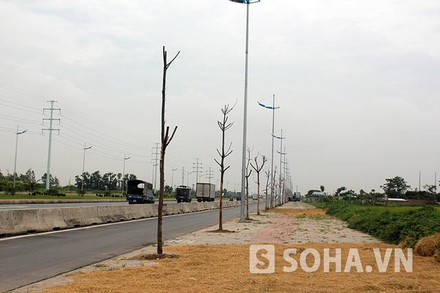 Đặc biệt, đoạn qua cầu Đông Trù sang Bắc Thăng Long - Vân Trì (Hà Nội), tỷ lệ cây chết khô lên đến trên 50%