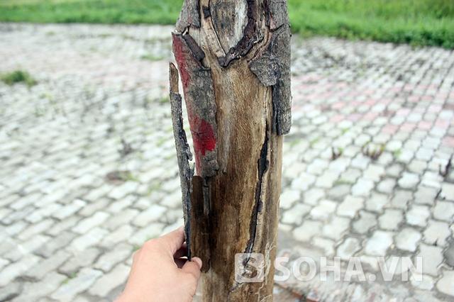 Vỏ cây bong tróc, khô héo thể hiện đã chết từ rất lâu