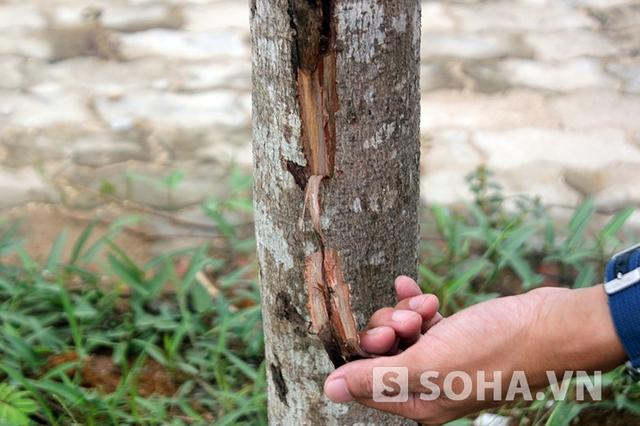 Rất dễ dàng để dùng tay tách được vỏ cây từ thân cây khô mục
