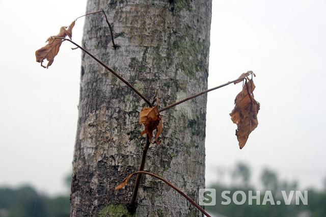 Theo khảo sát sơ bộ của PV, số lượng cây chết trên toàn tuyến lên tới hàng trăm cây