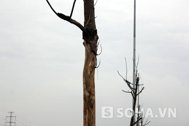 Hàng trăm cây chết trơ trọi, đã làm ảnh hưởng nghiêm trọng tới toàn cảnh quan của tuyến đường 6.600 tỷ đồng