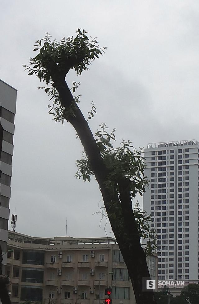 Cây xanh này đã được trồng 13 năm nhưng hiện tại gần như không có tán lá