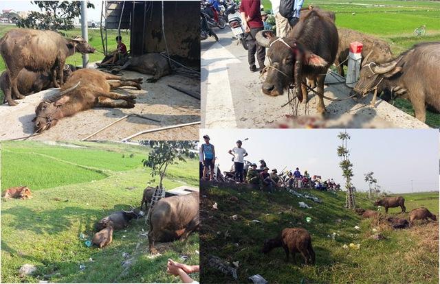 Nhiều con trâu bò bị văng xuống đường, gãy sừng, gãy chân và chết.