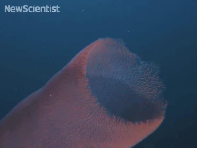 Tuy nhiên, đường kính thân ống của con giun biển lớn nhất đủ sức nuốt gọn một người trưởng thành.