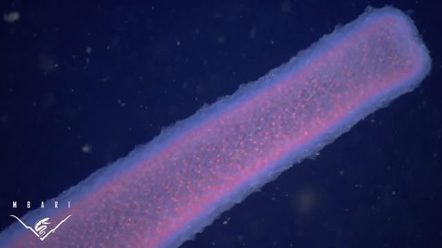 Pyrosome có khả năng phát ra ánh sáng màu xanh, trắng hoặc hồng trong bóng tối dưới lòng biển sâu.