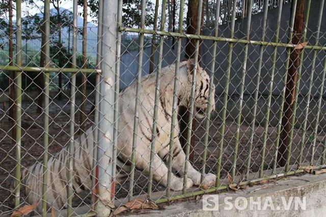 Hổ trắng được nuôi dưỡng tại khu du lịch sinh thái Trại Bò khá hung dữ và chồm lên khi thấy người đứng gần.