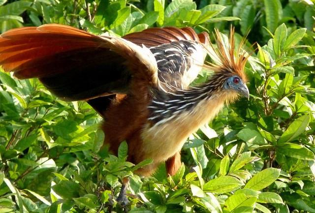 Loài chim opisthocomus hoazin