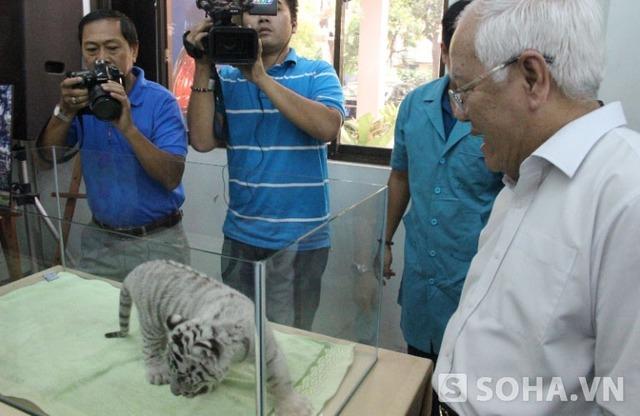 Đây là 1 trong 3 con hổ trắng quý hiếm lần đầu tiên được sinh sản thành công tại Việt Nam