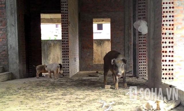 Đàn lợn được nuôi trong biệt thự cao cấp