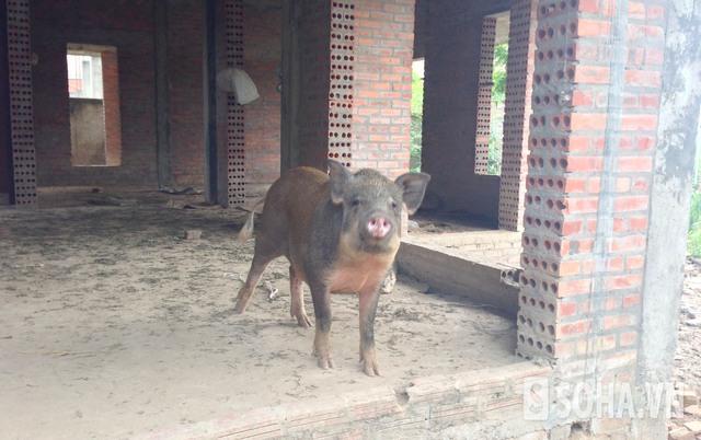 Dự án xây nhà ở để bán dùng nuôi lợn