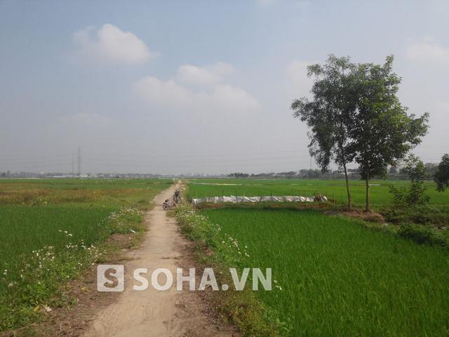 Cánh đồng lúa phía trước nhà thờ của tộc Nguyễn Bá.