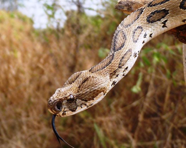 Hình dáng đầy đe dọa của hổ bướm