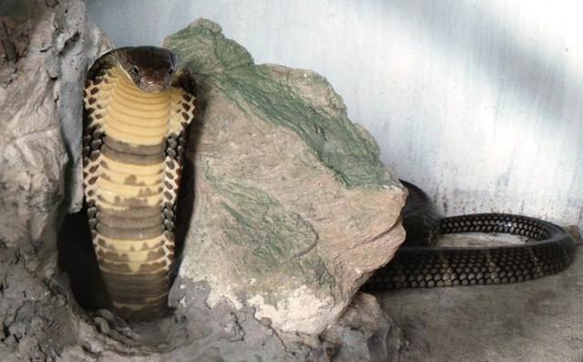 Khi bị động tới, rắn này có thể ngóc đầu cao tới một mét và dưới hầu rắn có màu vàng. Ảnh: Zing