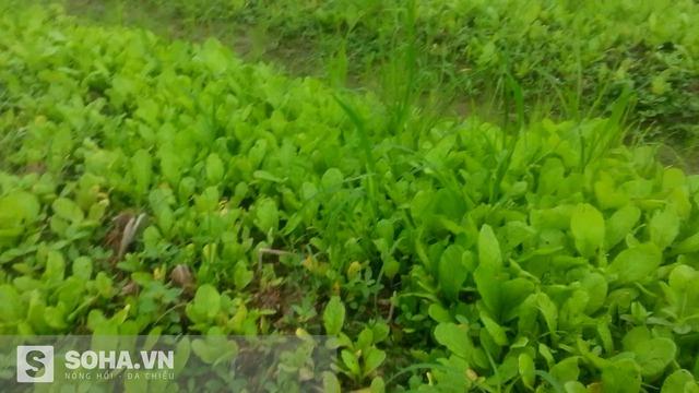 Ruộng rau nhìn chả muốn hái của nhà anh K. khác hẳn với những luống rau mơn mởn đang chuẩn bị thu hoạch để bán. (Ảnh: Hà Khê)