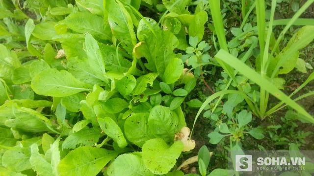Ở luống rau dành cho gia đình ăn, không khó để nhận ra những lá rau bị sâu ăn. (Ảnh: Hà Khê)