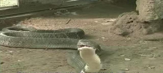 Loài này còn được gọi là rắn hổ mây vì chúng có đặc tính là bò nhanh như mây gặp gió. Hiện ở trại rắn Đồng Tâm (Tiền Giang) vẫn đang nuôi dưỡng loại rắn quý hiếm này. Ảnh cắt từ clip của Trại rắn Đồng Tâm
