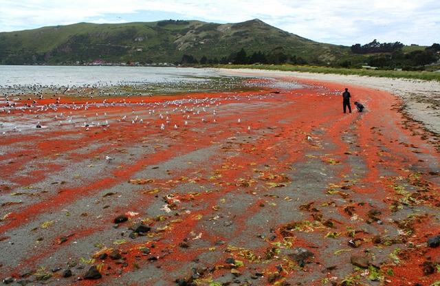 Số lượng tôm trôi dạt vào bãi biển quá nhiều khiến các nhân viên bảo vệ môi trường phải thường xuyên thu dọn để tránh gây ô nhiễm.