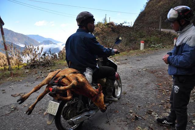 Các con trâu, nghé bị chết rét được người dân Sa Pa chở về mổ, bày bán tại quốc lộ 4D.