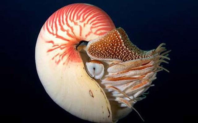 Một trong những món khoái khẩu của ốc anh vũ là cua biển.