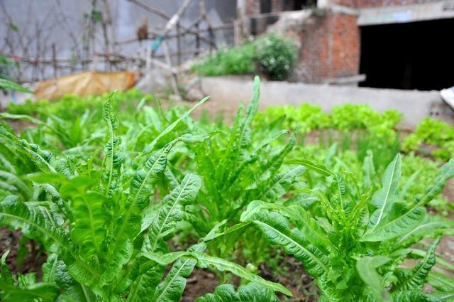 Mỗi vườn rau có nhiều loại rau khác nhau.