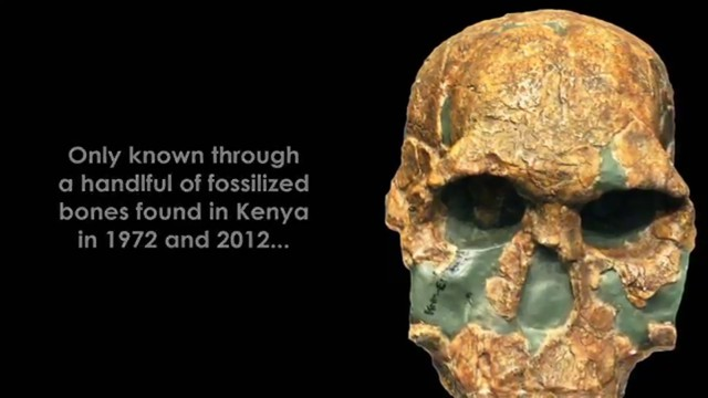 Đó là bằng chứng cho thấy một giống người mới thuộc chiHomođã sống cùng thời với người Homo erectus và Homo habilis .Homo rudolfensiscó bộ não lớn hơn và khuôn mặt phẳng hơnHomo habilis.