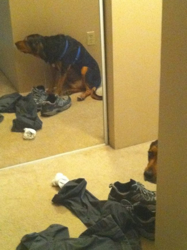 Trốn rất kỹ, đáng buồn là chú chó này quên mất cái gương!