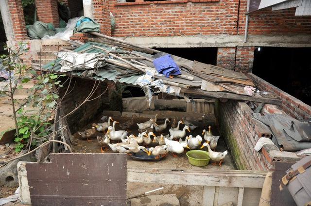 Điều đặc biệt ở khu đô thị mới này, tầng hầm của biệt thự bỏ hoang được tận dụng để nuôi vịt.