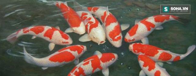 Cá Koi - Quốc ngư xinh đẹp của người Nhật Bản.